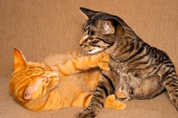 ¿Qué hago si tengo un gato agresivo?