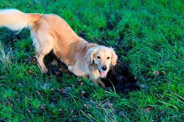 ¿Qué puedo hacer para que mi perro deje de cavar?