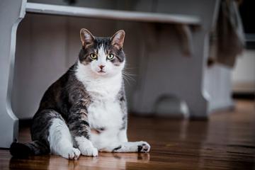¿Cómo sé si mi engreído tiene sobrepeso?