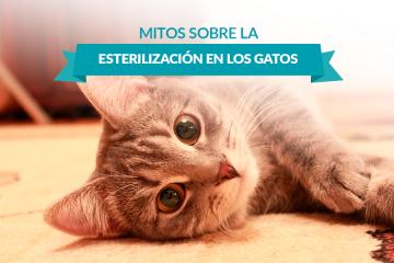 Mitos sobre la esterilización en los gatos