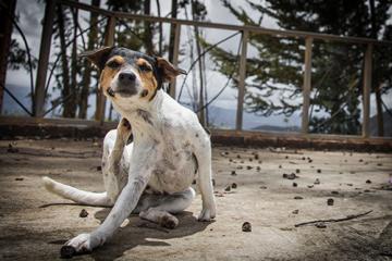 Tips para eliminar las pulgas en tu perro