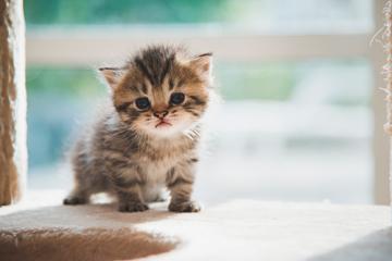 ¿Cómo cuido a mi nuevo gatito?