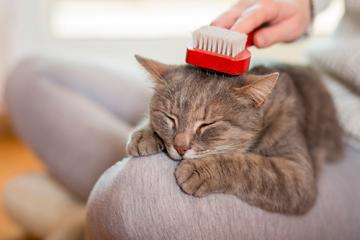 ¿Cómo cepillo correctamente a mi gatito?