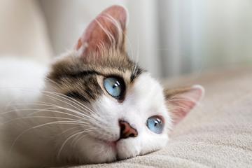 Causas de los problemas renales en mi gatito