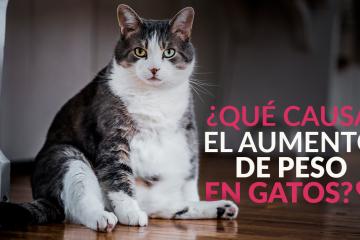 ¿Qué causa el aumento de peso en gatos?