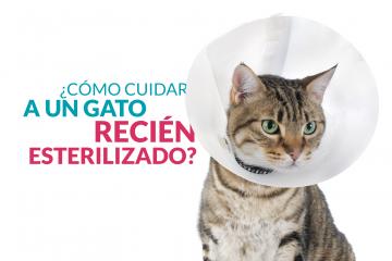 ¿Cómo cuidar a un gato recién esterilizado?