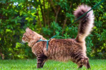 El paseo para gatos