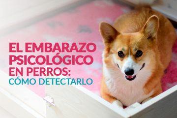 Síntomas de embarazo psicológico en perros: cómo detectarlo