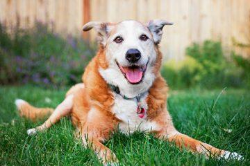 Enfermedades comunes en perros mayores