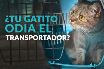 ¿Tu gatito odia el transportador?