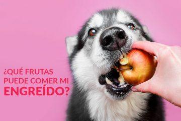 ¿Qué frutas puede comer mi engreído?