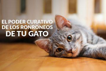 El poder curativo de los ronroneos de tu gato