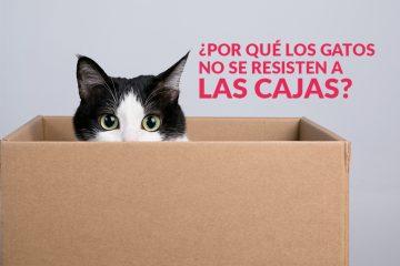 ¿Por qué los gatos no se resisten a las cajas?