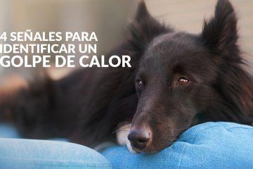 ¿Cómo saber si mi perrito está sufriendo un GOLPE DE CALOR?
